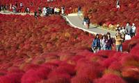 秋日独有!日本3万株地肤变色成红毯