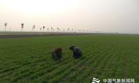 河南西平天气回暖冬小麦返青 气象人员深入田间开展调查服务