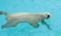 新加坡最后一只北极熊走了,全世界哀悼