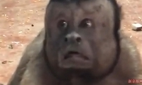 """爆红人面猴是""""黑帽悬猴""""?还有哪些动物长了""""人脸"""""""