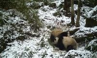 大熊猫国家公园:野生大熊猫母子嬉戏 发现其暂居所